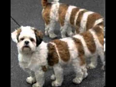 longe chien