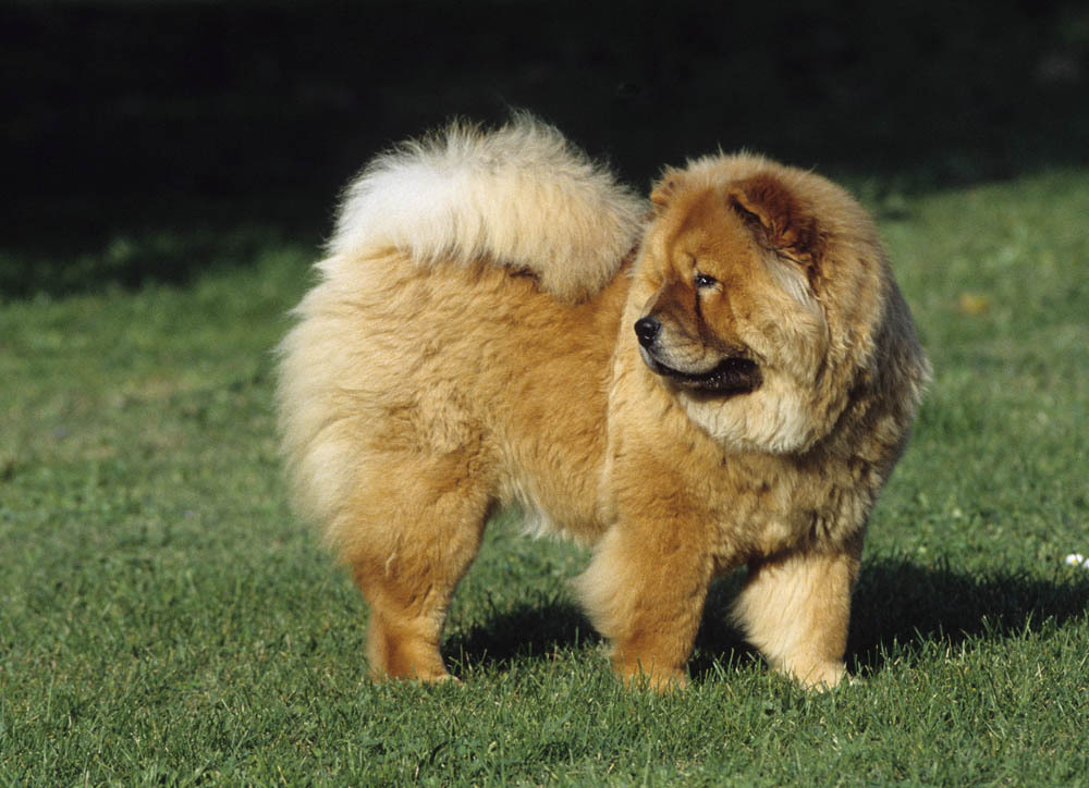 chow chow caractere