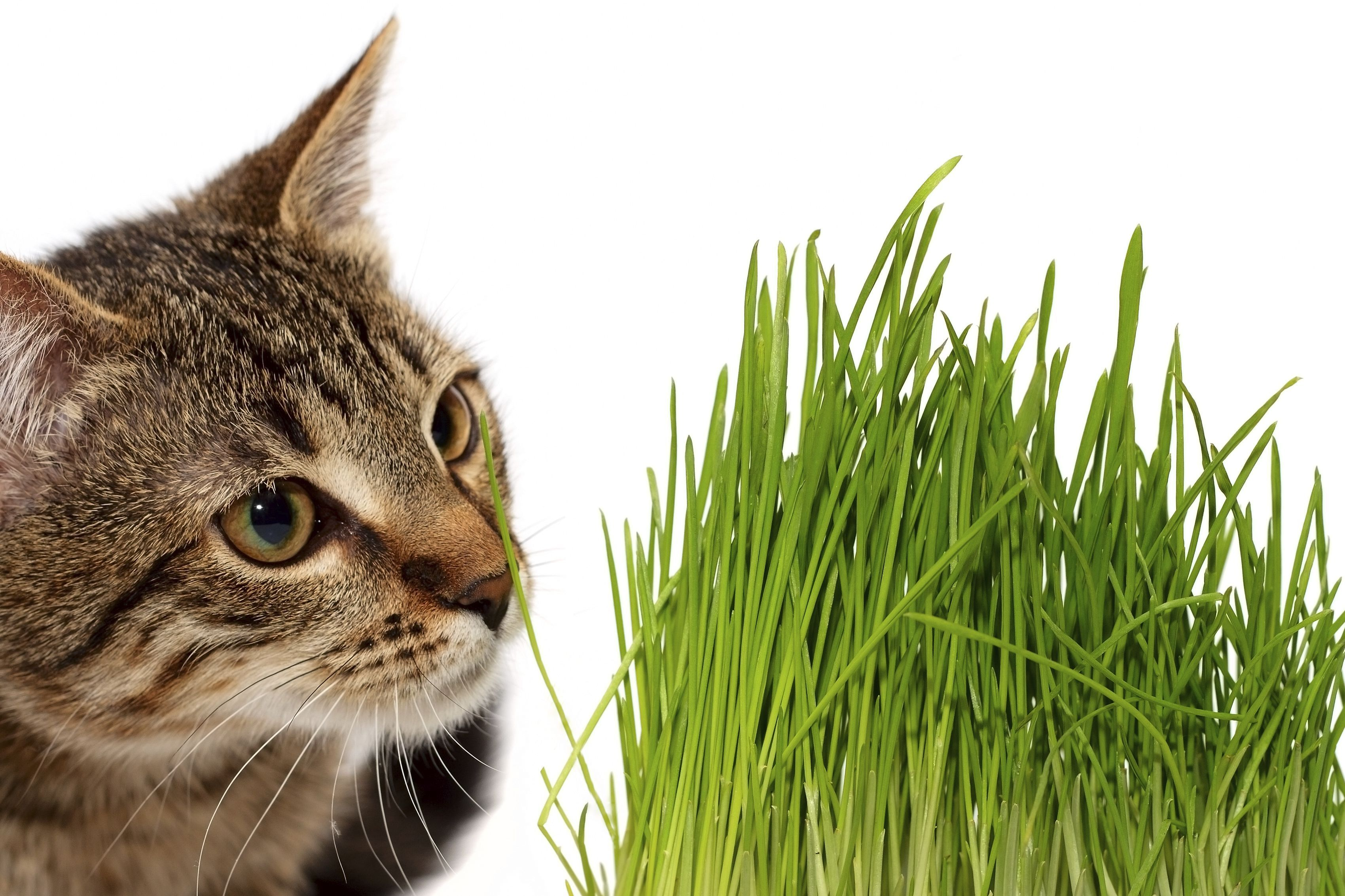 herbe a chat effet