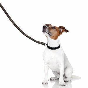 lesse a chien