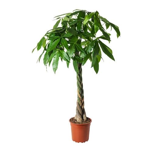 plante tressée